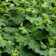 Фото травы манжетка