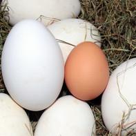 Фото гусиных яиц 3