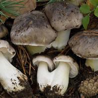 Фото грибов рядовок