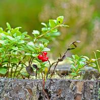 Фото листьев брусники
