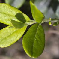 Фото листьев брусники 2