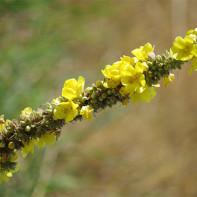Фото травы коровяк 2