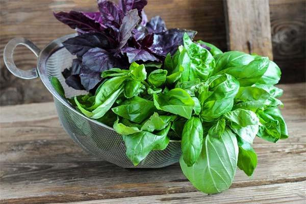 Какой базилик полезнее: зеленый или фиолетовый