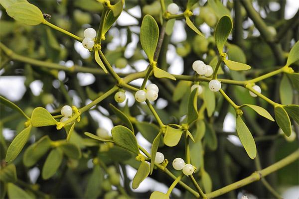 Лечебные свойства омелы белой