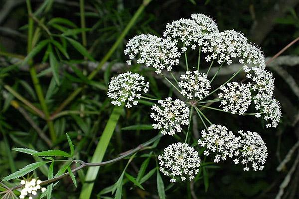 Лечебные свойства травы болиголов
