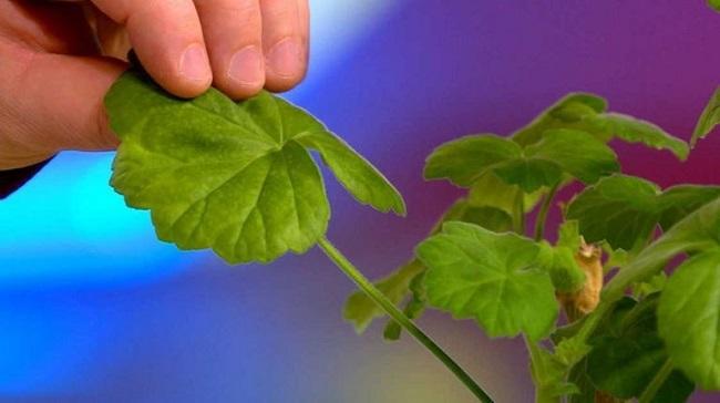Листья герани