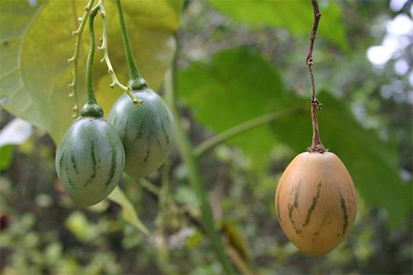 Можно ли вырастить тамарилло в домашних условиях